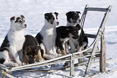 Eight Week Old Iditarod Husky Pups Sit Poster by Jeff Schultz