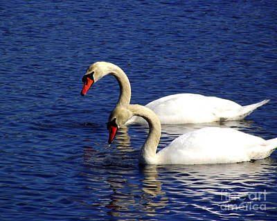 Elegant Swan Pair  Poster by CapeScapes Fine Art Photography
