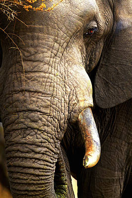 Elephant Close-up Portrait Poster by Johan Swanepoel