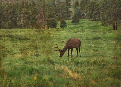 Elk In Rocky Mountain National Park Poster by Dan Sproul