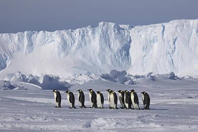 Emperor Penguins Walking Antarctica Poster by Frederique Olivier