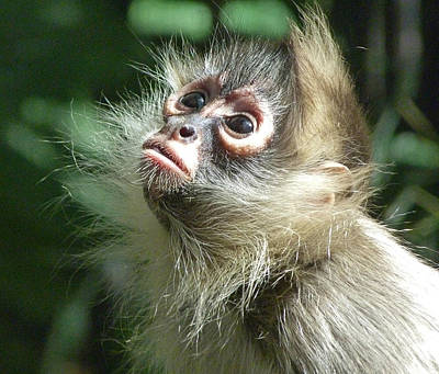 Enchanting Young Spider Monkey Poster by Margaret Saheed