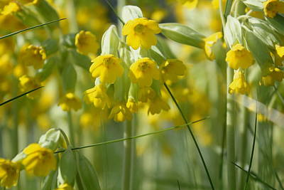 English Cowslips Poster by Online Presents