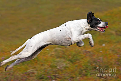English Pointer Running Poster by M. Watson