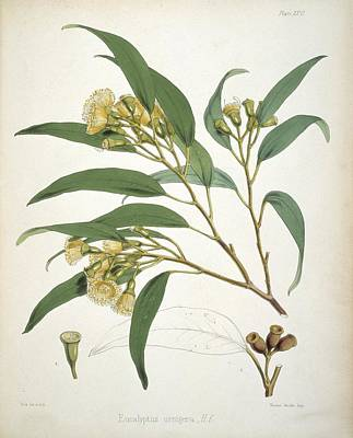 Eucalyptus Plant, 19th Century Poster by Science Photo Library
