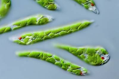 Euglena Deses Protist Poster by Gerd Guenther