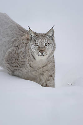 Eurasian Lynx Poster by Andy Astbury
