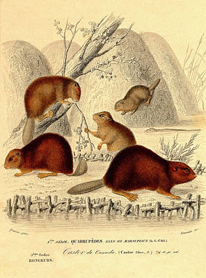 European Beavers Poster by Collection Abecasis
