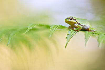 European Tree Frog Poster by Dirk Ercken