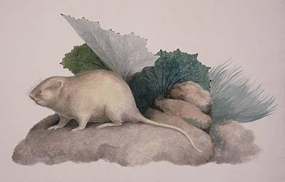 European Water Vole, 19th Century Poster by Science Photo Library