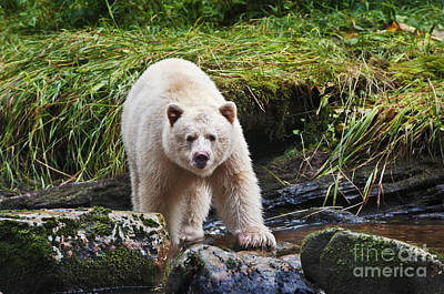 Eye Contact With Spirit Bear Poster by Melody Watson