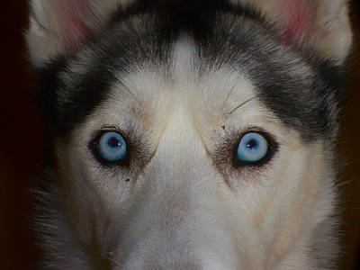 Eyes Of A Husky Poster by Mountain Dreams