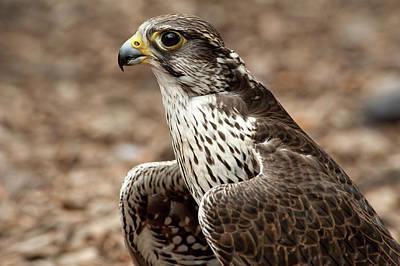 Falcon Portrait Poster by Sheila Haddad