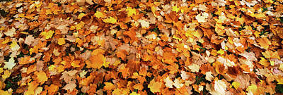 Fall Foliage In The Backyard, Eureka Poster by Panoramic Images