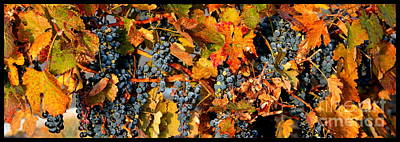 Fall Grapes Dining Room Art Poster by Carol Groenen