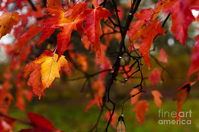 Fall Maple Leaves In Rain Poster by Thomas R Fletcher