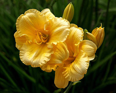 Fancy Yellow Daylilies Poster by Rona Black