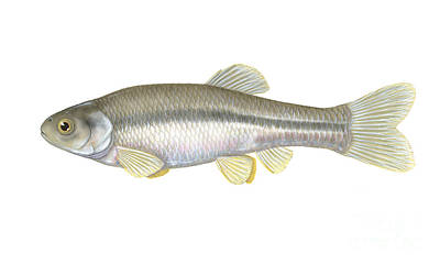 Fathead Minnow Poster by Carlyn Iverson