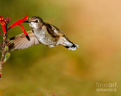 Feeding Anna's Hummingbird Poster by Robert Bales