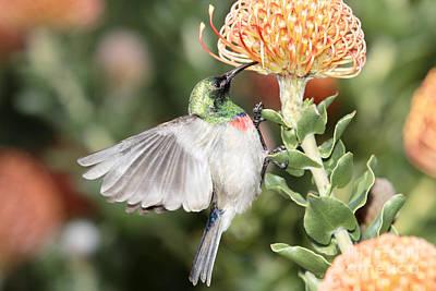 Feeding Sunbird Poster by Neil Overy
