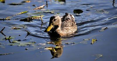 Femail Duck- Female Mallard Swimming Poster by Leif Sohlman