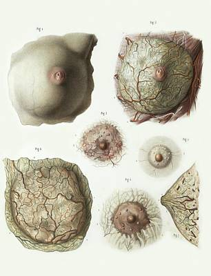 Female Breast Anatomy Poster by Science Photo Library