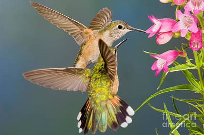 Female Broad-tailed Hummingbird Poster by Anthony Mercieca