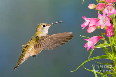 Female Broad-tailed Hummingbirds Poster by Anthony Mercieca