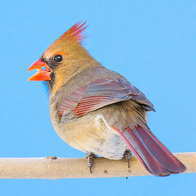 Birdwatching Poster featuring the photograph Female Cardinal  by Jim Hughes