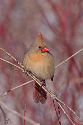 Female Northern Cardinal Poster by Jim Nelson