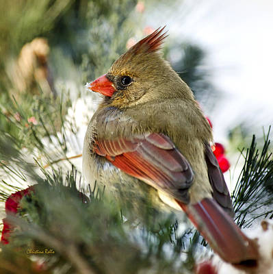 Female Northern Cardinal Square Poster by Christina Rollo