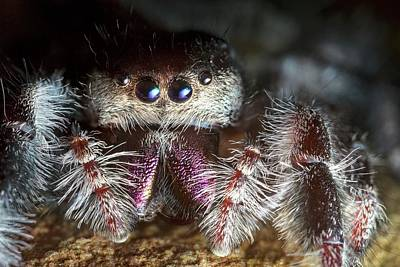 Female Regal Jumping Spider Poster by Alex Hyde