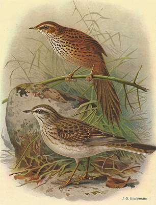 Fernbird And New Zealand Pipit Poster by J G Keulemans