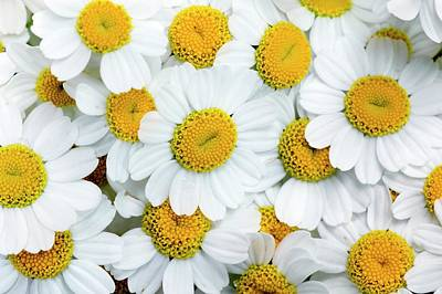 Feverfew Flowers (tanacetum Parthenium) Poster by Dr Jeremy Burgess
