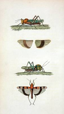 Field Crickets Poster by General Research Division/new York Public Library