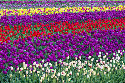 Field Of Tulips Poster by Patricia Davidson