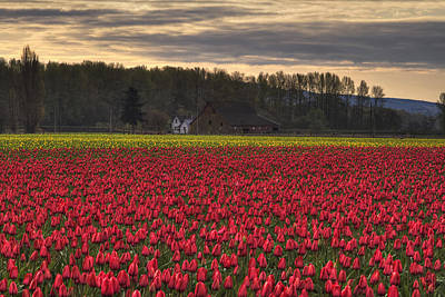 Fields Of Tulips Poster by Mark Kiver