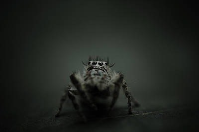 Filbert The Jumping Spider Poster by Shane Holsclaw