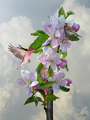 Finches In Blooming Apple Tree Poster by Matthew Schwartz