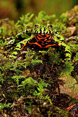 Fire Belly Toad Bombina Orientalis Poster by David Northcott