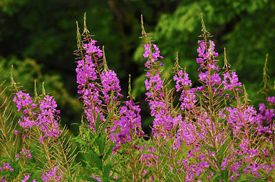 Fireweed, Nisqually National Wildlife Poster by Michel Hersen