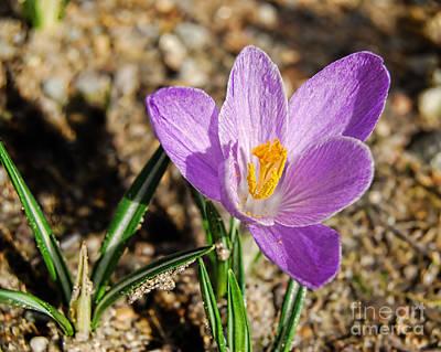 First Flower Of Spring Poster by Alexandra Jordankova