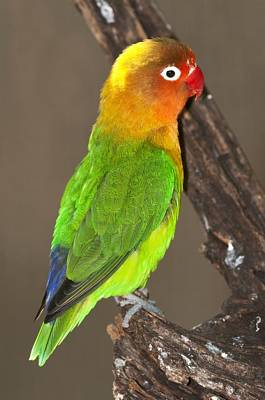 Fischer's Lovebird Poster by Science Photo Library