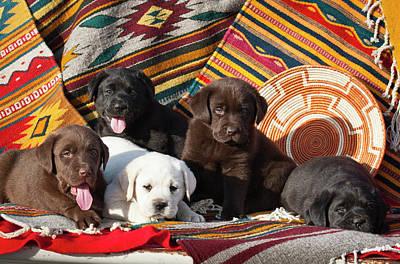 Five Labrador Retriever Puppies Of All Poster by Zandria Muench Beraldo
