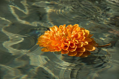 Floating Autumn - Chrysanthemum Blossom In The Fountain Poster by Georgia Mizuleva