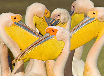 Flock Of Great White Pelicans, Lake Poster by Panoramic Images
