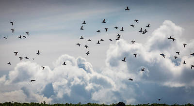 Flock Of Puffin Fratercala Arctica Poster by Panoramic Images