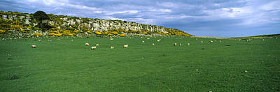 Flock Of Sheep At Howick Scar Farm Poster by Panoramic Images