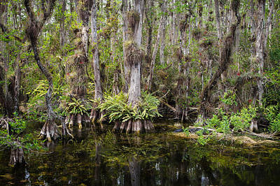 Florida Everglades Tropical Landscape - Big Cypress Swamp Poster by Bill Swindaman