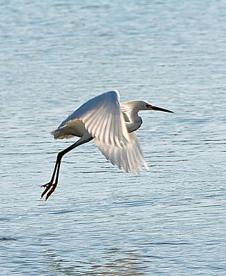 Florida, Venice, Snowy Egret Flying Poster by Bernard Friel